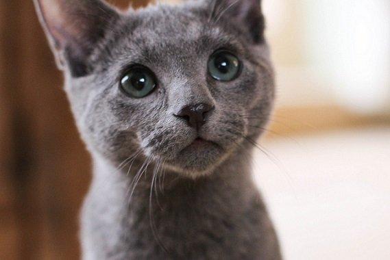 ロシアンブルーの子猫の値段の相場と良いブリーダーの見極め方