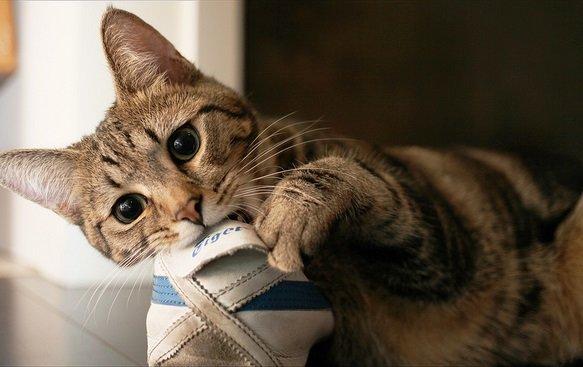 くつをかじる猫