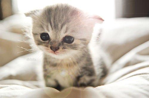 マンチカンの子猫の値段相場と良いブリーダーの見分け方